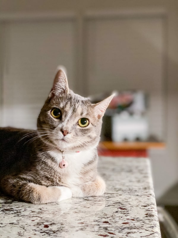 a grey cat sitting on the counter
