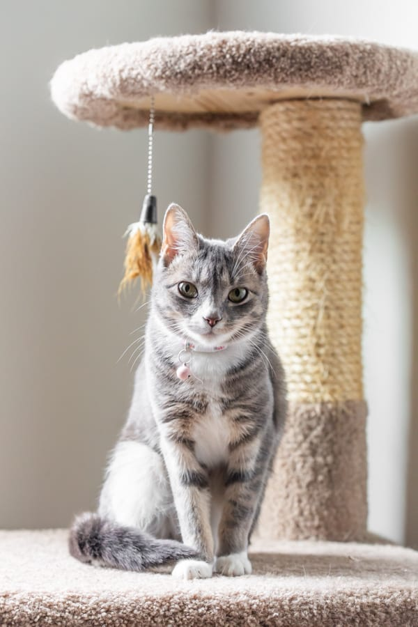 a grey cat sitting on the platform of a kitty condo